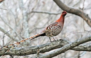 Copper pheasant | Internet Bird Collection