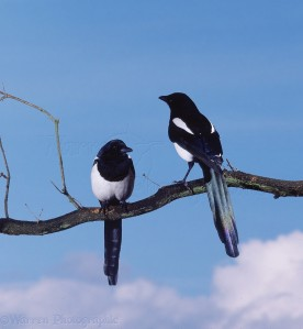 Magpies | Warren Photographic