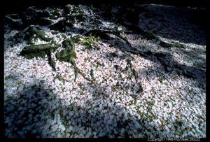 Fallen sakura petals | Frantisek Staud